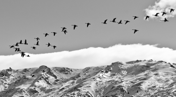 Black swans over Pisa Range, Central Otago, New Zealand
