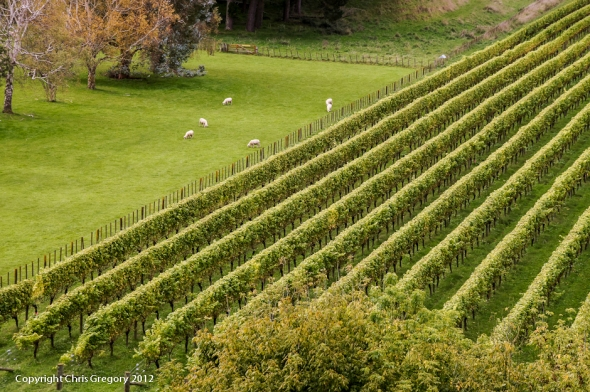 Sheep in the Meadow, Mission Estate, Hawkes Bay, New Zealand, Copyright Chris Gregory 2012
