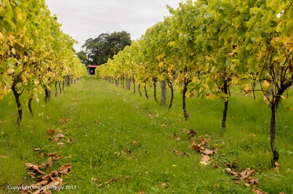 Between the Rows, Mission Estate, Hawkes Bay, New Zealand, Copyright Chris Gregory 2012