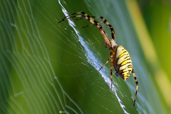 Spider, rice field, Gyeong ju, South Korea, Incy Wincy Spider, Copyright Chris Gregory 2012