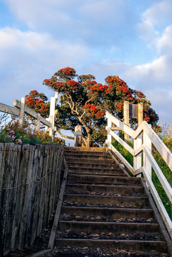 Pohutukawa, New Zealand Christmas Tree, Christmas, Taranaki, Copyright Chris Gregory 2012