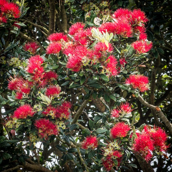 Pohutukawa,Flower, New Zealand, Copyright Chris Gregory 2012