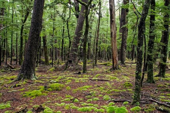 Rain Forrest 1, lake Sylvan Track, Glenorchy, New Zealand, Copyright Chris Gregory 2013