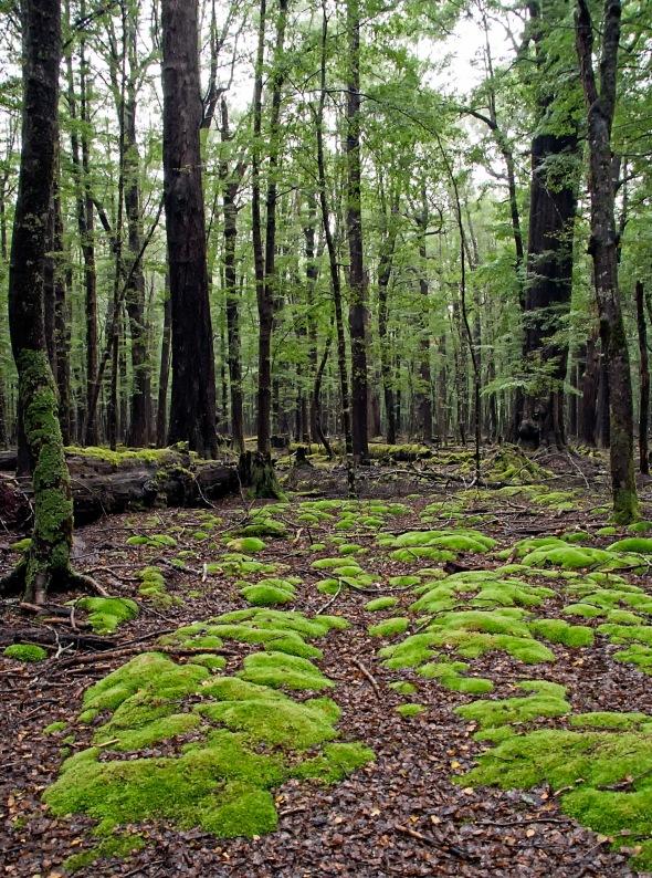 Rain Forrest 3, Lake Sylvan Track, Glenorchy, New Zealand, Copyright Chris Gregory 2013